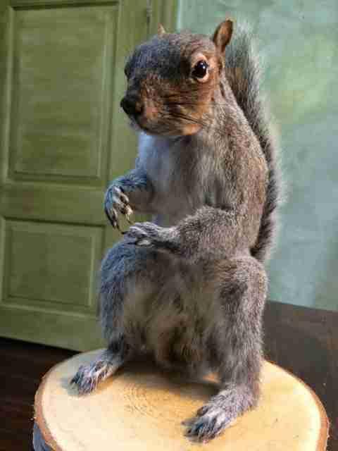 Grijze eekhoorn, taxidermy